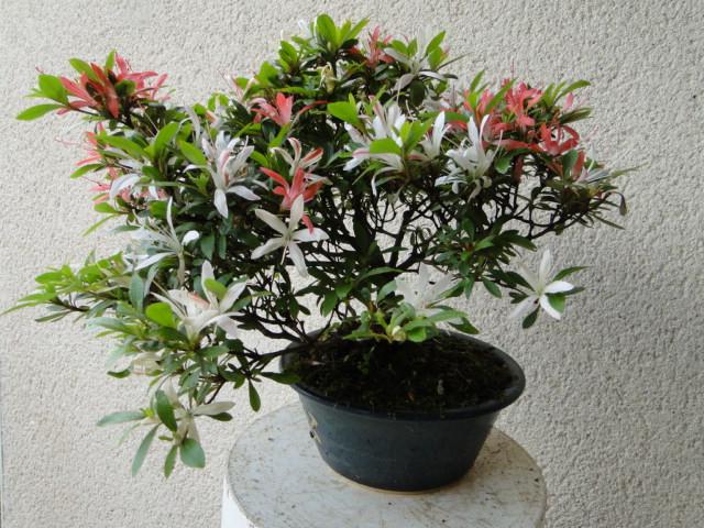 la passion du bonsai - Page 5 Dsc00785