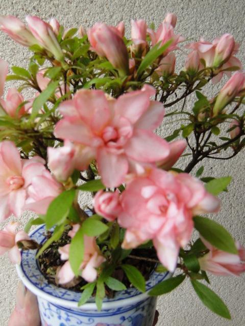la passion du bonsai - Page 5 Dsc00821