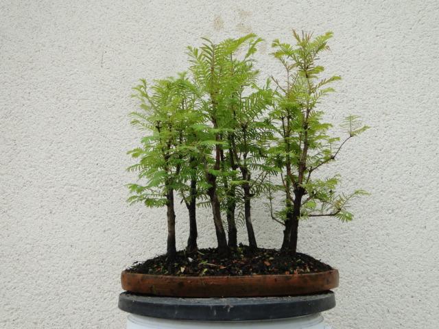 la passion du bonsai - Page 37 Dsc00917