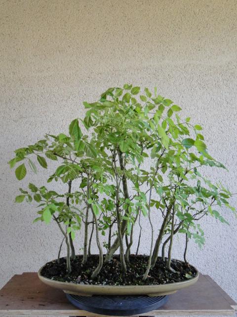 la passion du bonsai - Page 37 Dsc01188