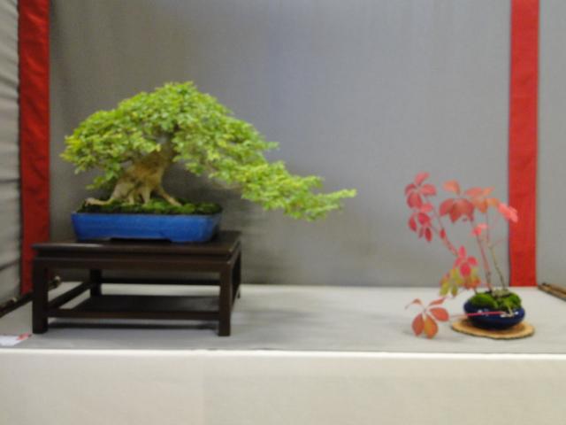 la passion du bonsai - Page 29 Dsc01632