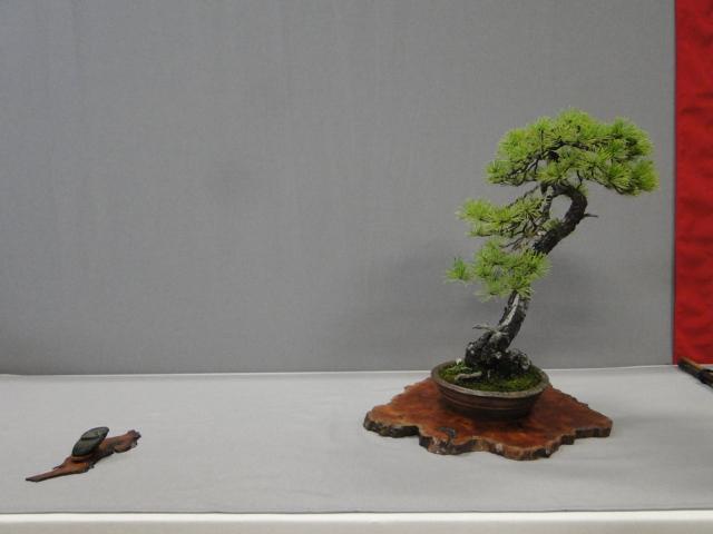 la passion du bonsai - Page 29 Dsc01634