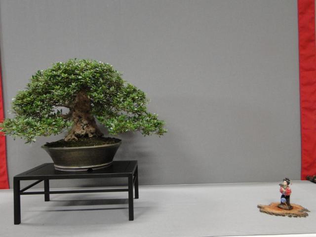 la passion du bonsai - Page 29 Dsc01635