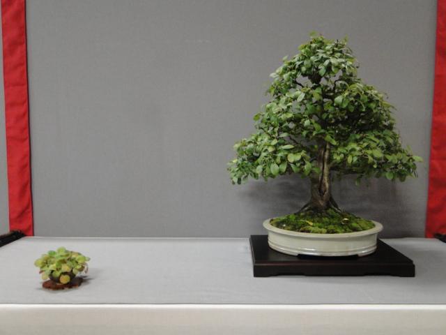 la passion du bonsai - Page 29 Dsc01637