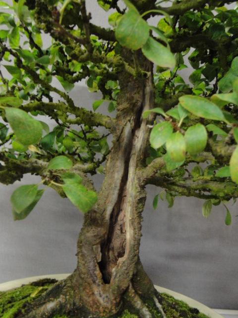 la passion du bonsai - Page 29 Dsc01638