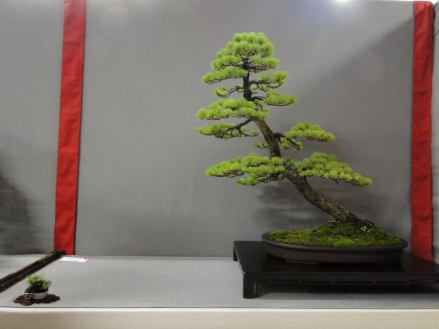 la passion du bonsai - Page 29 Dsc01640
