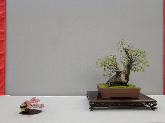 la passion du bonsai - Page 29 Dsc01647