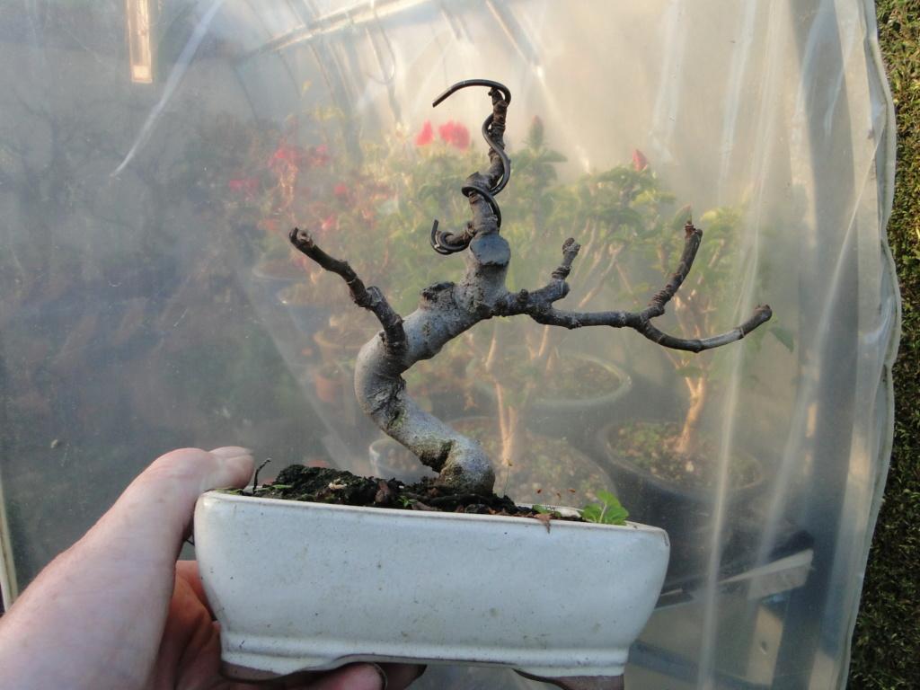 la passion du bonsai - Page 9 Dsc06610