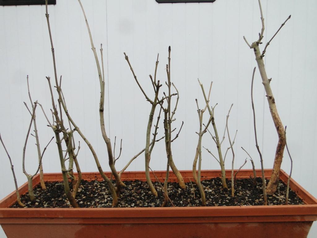 la passion du bonsai - Page 6 Dsc07218