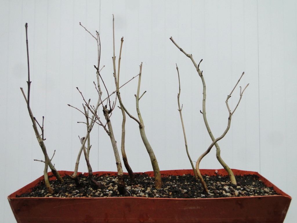 la passion du bonsai - Page 6 Dsc07219