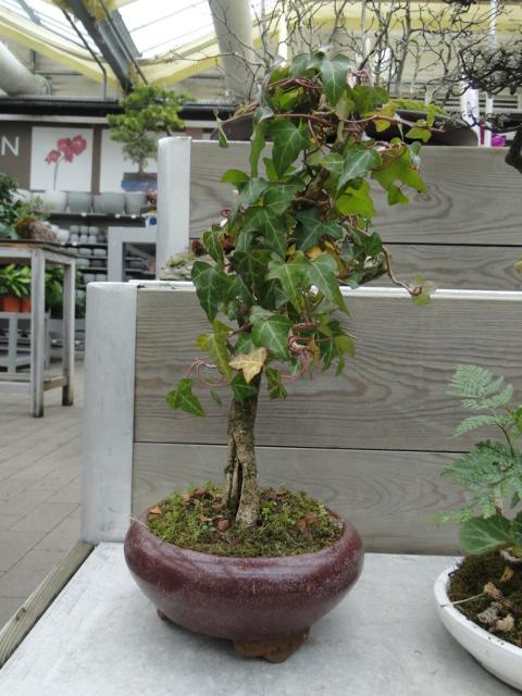 la passion du bonsai - Page 39 Dsc08104