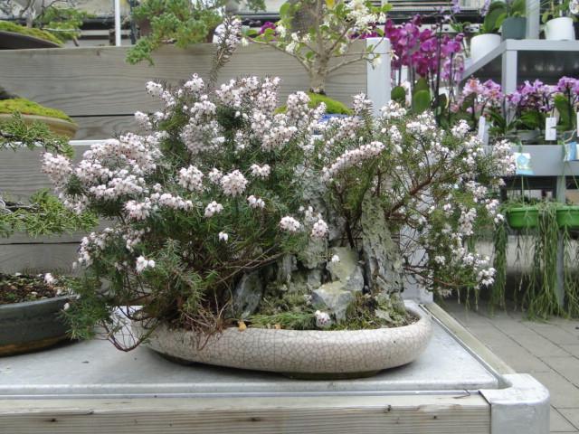 la passion du bonsai - Page 39 Dsc08105