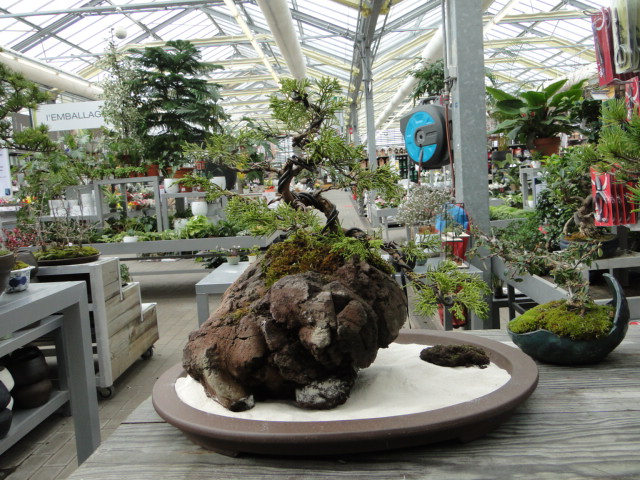 la passion du bonsai - Page 39 Dsc08107