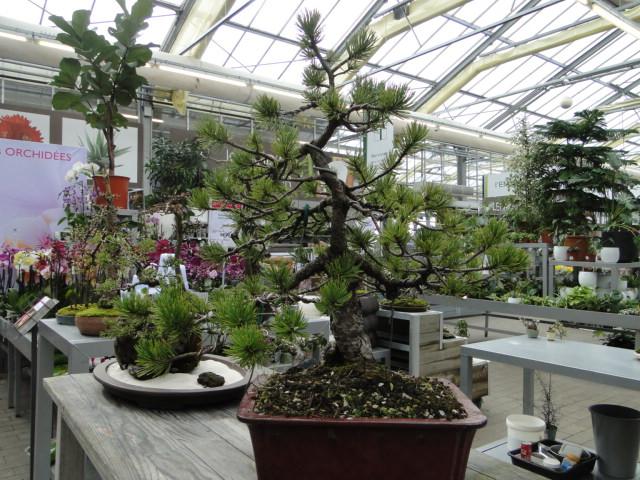 la passion du bonsai - Page 39 Dsc08108