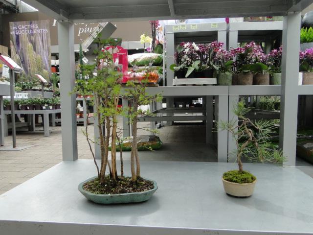 la passion du bonsai - Page 39 Dsc08197