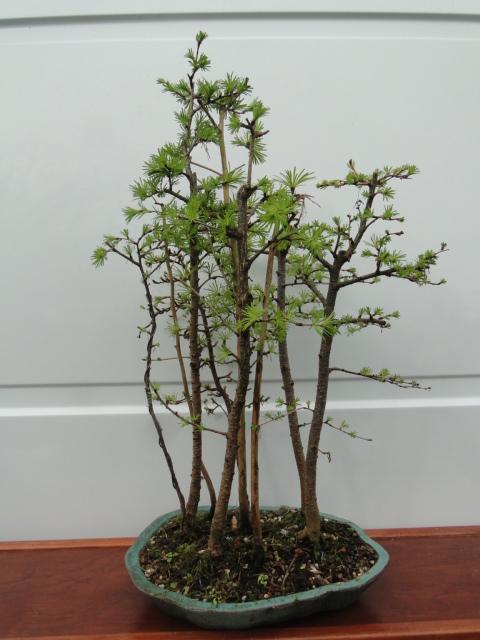 la passion du bonsai - Page 37 Dsc08291
