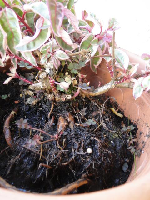 la passion du bonsai - Page 30 Dsc08459