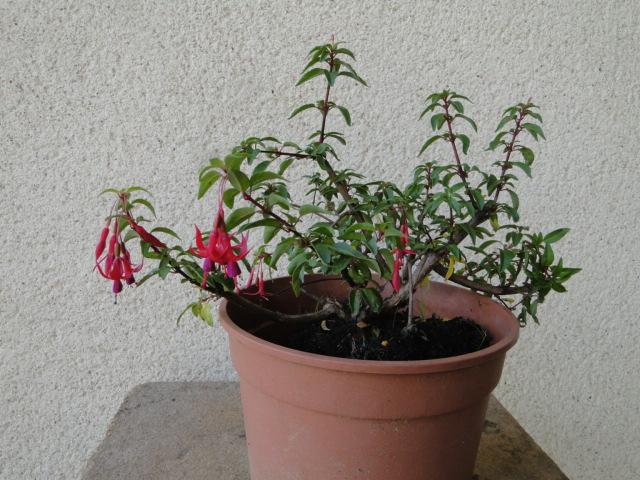 la passion du bonsai - Page 30 Dsc08460