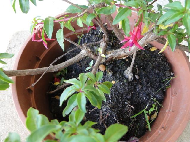 la passion du bonsai - Page 30 Dsc08461
