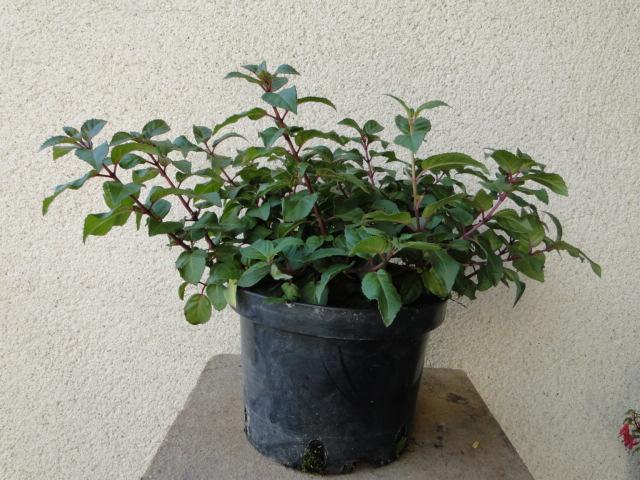 la passion du bonsai - Page 30 Dsc08462
