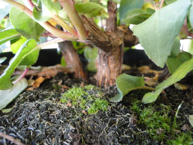 la passion du bonsai - Page 30 Dsc08463