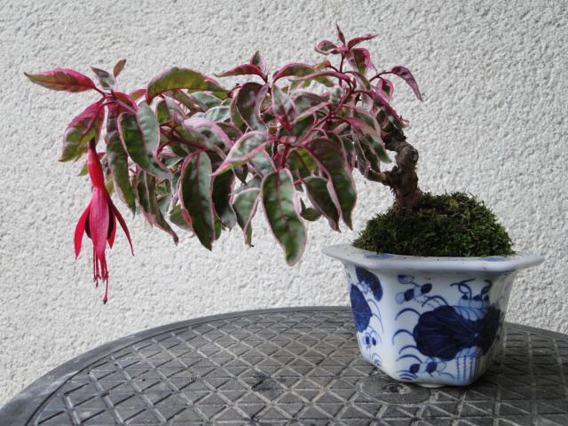la passion du bonsai - Page 30 Dsc08543