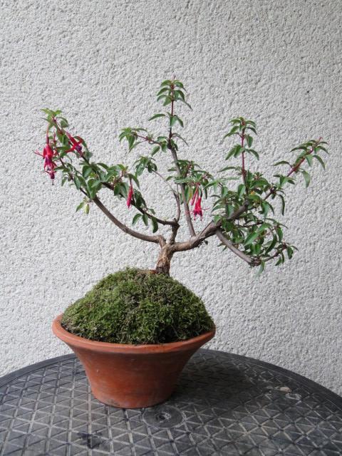la passion du bonsai - Page 30 Dsc08544