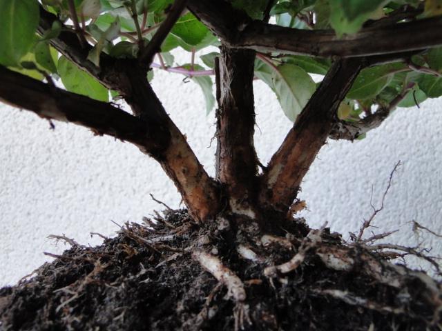 la passion du bonsai - Page 30 Dsc08545