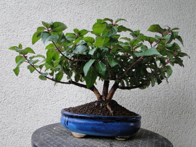 la passion du bonsai - Page 30 Dsc08546