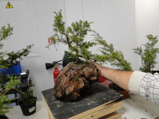 la passion du bonsai - Page 30 Dsc08571