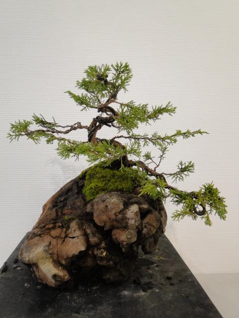 la passion du bonsai - Page 30 Dsc08574