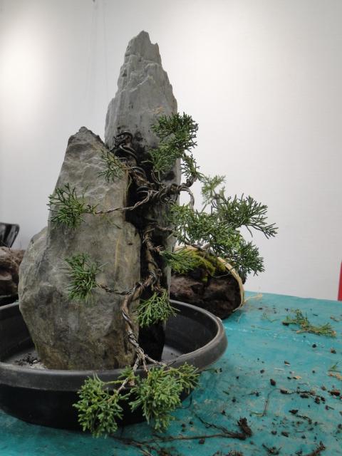 la passion du bonsai - Page 31 Dsc08576
