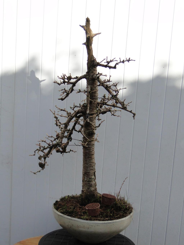 la passion du bonsai - Page 34 Dsc08765