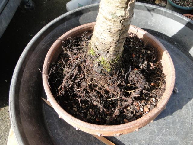 la passion du bonsai - Page 34 Dsc08767