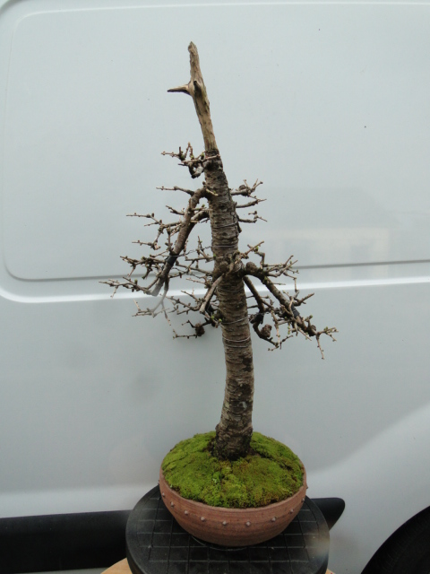 la passion du bonsai - Page 34 Dsc08839