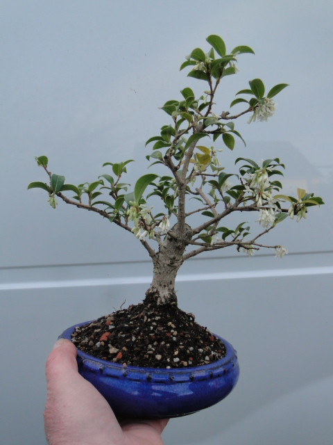 la passion du bonsai - Page 37 Dsc08883