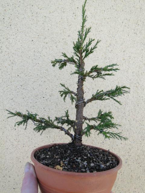 la passion du bonsai - Page 37 Dsc08886