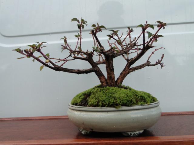 la passion du bonsai - Page 37 Dsc08887
