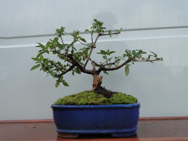 la passion du bonsai - Page 37 Dsc08888
