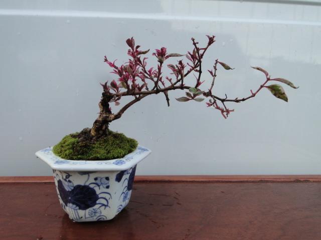 la passion du bonsai - Page 37 Dsc08889