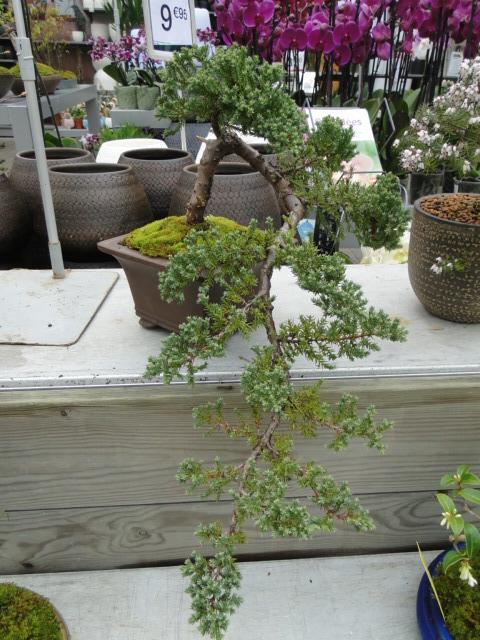 la passion du bonsai - Page 39 Dsc08898