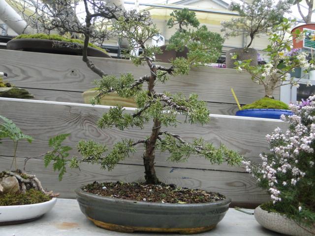 la passion du bonsai - Page 39 Dsc08899