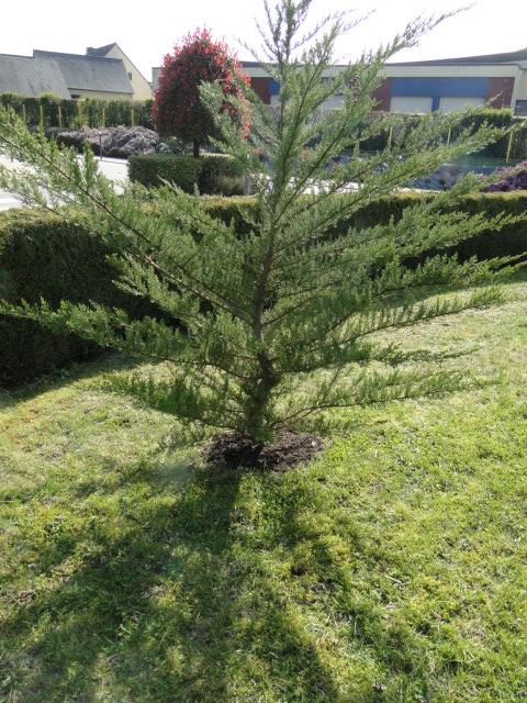 Cyprès de Lambert, Cupressus macrocarpa en niwaki Dsc08956