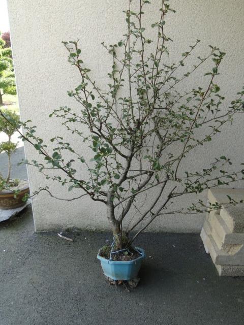 la passion du bonsai Dsc08979