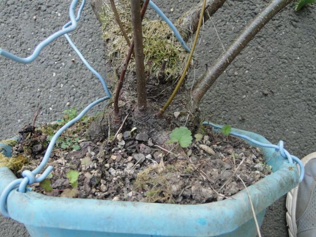 la passion du bonsai Dsc08981