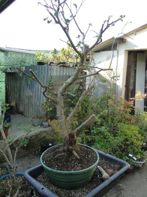 la passion du bonsai Dsc08982