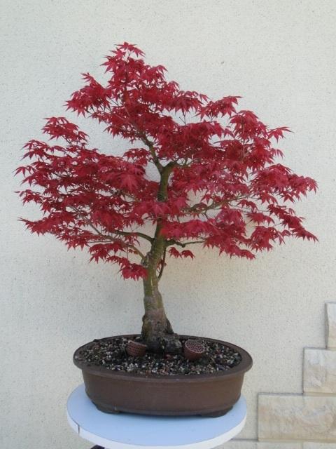 la passion du bonsai Dsc08989