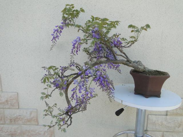 la passion du bonsai Dsc08991