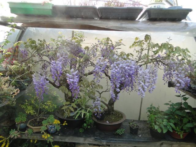 la passion du bonsai Dsc09033