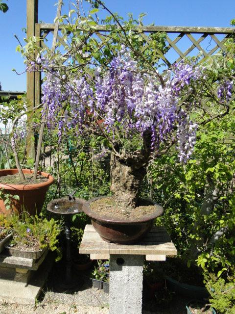 la passion du bonsai Dsc09034